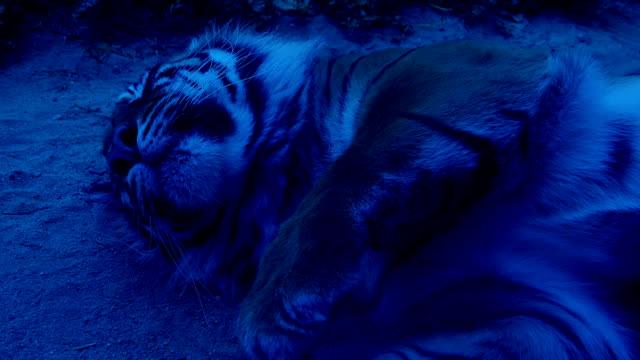 Tigre-para-dormir-en-la-noche-