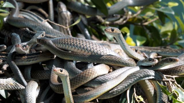 Orientalische-Ratte-Schlangen