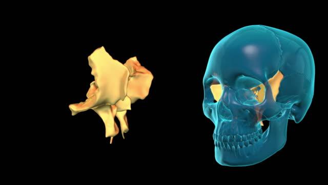Sphenoid-Bone