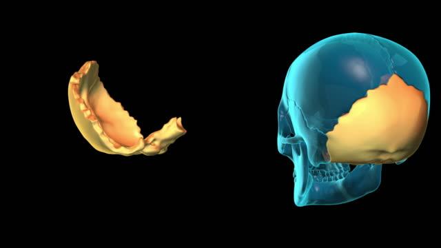 Occipital-Bone