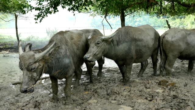 buffalo-head-standing-on-the-mud