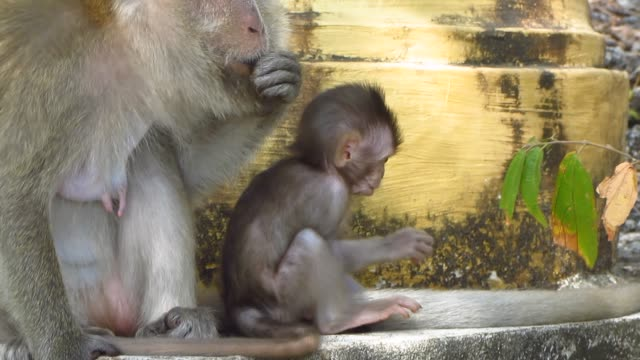 Curious-Infant-Monkey-With-Mother