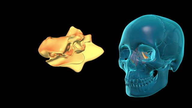 Ethmoid-Bone