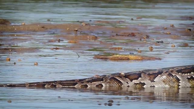 Python-asiáticos-en-el-Parque-Nacional-de-Bardia-Nepal