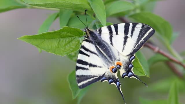 Prächtige-Schwalbenschwanz-Schmetterling-Rest-auf-Frühlingsgrün-Blatt