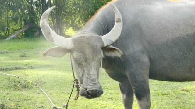 head-of-buffalo-in-green-field