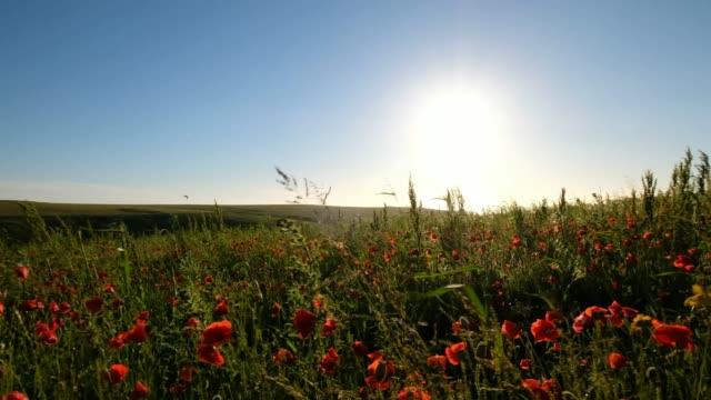 Felder-der-wilden-Mohn-in-der-Nähe-von-Sunset-Pentire-Newquay-Cornwall---Juni-