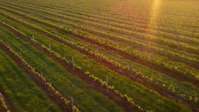 Aerial-flight-over-beautiful-vineyard-landscape-in-France-at-sunset-4K-UHD-