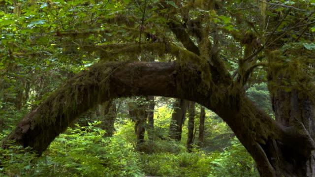 Suspensión-cardán-clip-caminar-debajo-de-un-árbol-formando-un-arco-en-la-selva-tropical-de-hoh-en-olympic-np