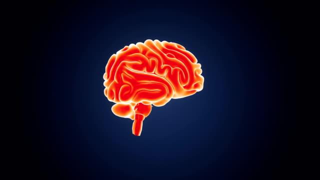 Human-Gehirn