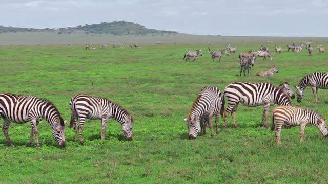 Zebras-Herde-mit-wenig