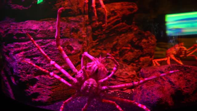 Cangrejo-araña-gigante-de-Close-up-con-piernas-largas-vista-inferior