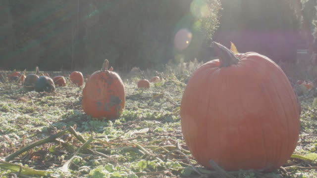 Sunny-Morning-Close-up-Pumpkins-With-Fog-Swirling-Sun-Flare