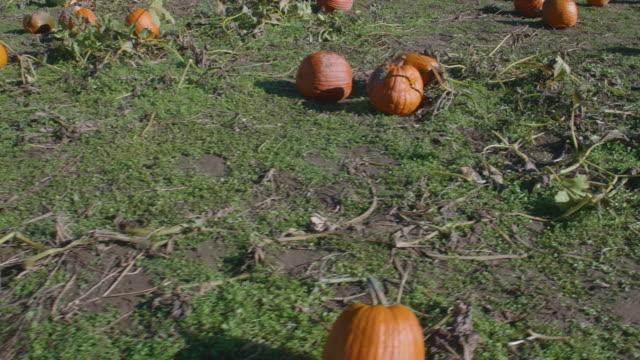 Orange-Pumpkins-Scattered-on-a-Farm-Pumpkin-Patch-in-October-Autumn-Harvest-Season