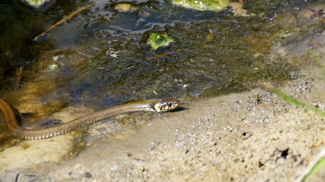 Grass-Snake-Crawling-in-the-River-Slow-Motion