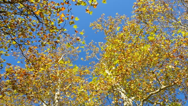 Colorful-leaves-of-a-plane-tree-are-falling-to-the-ground-in-autumn-loopable