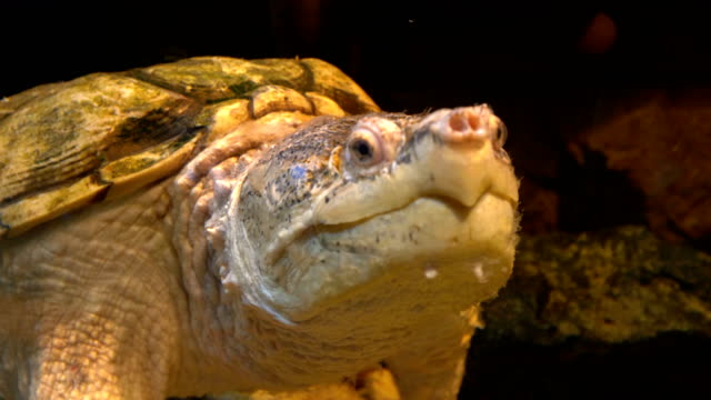 Common-snapping-turtle-in-4k-slow-motion-60fps