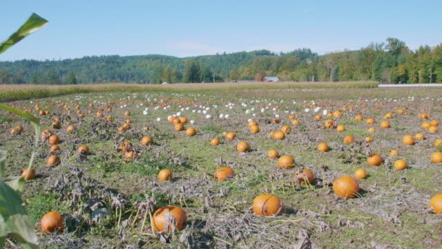 White-and-Orange-Pumpkin-Patch-on-Large-Farm-October-Harvest