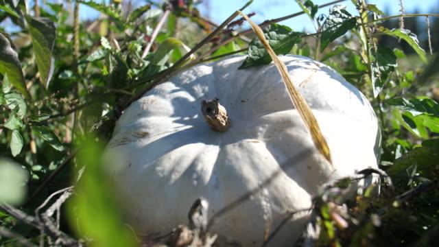 Natural-no-GMO-herencia-orgánica-Casper-Lumina-blanco-calabaza-creciendo-en-campo