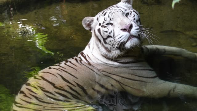 White-tiger-chilling-inside-pool-and-taking-rest