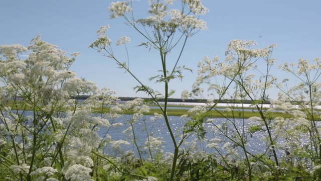 The-cow-parsnip-plant-in-the-wild-is-swinging-with-a-strong-wind-on-the-coast-of-the-summer-river