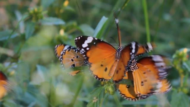 Monarch-Butterfly-Video