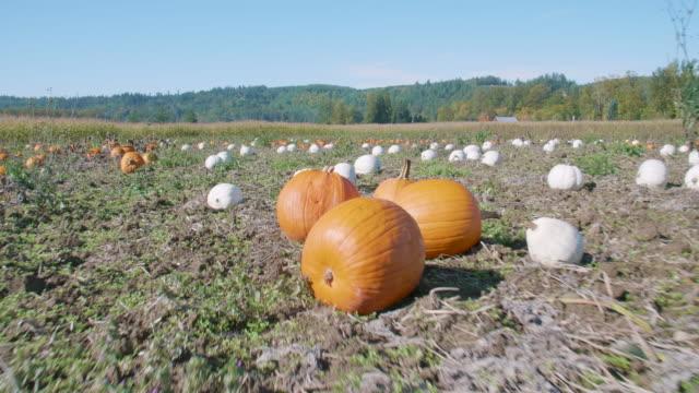 Farm-Field-Patch-of-Lumina-White-and-Orange-Pumpkins