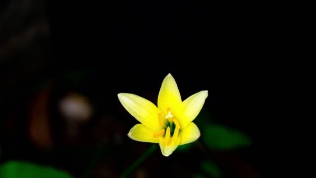 Lapso-de-tiempo-de-Zephyranthes-Lily-flor