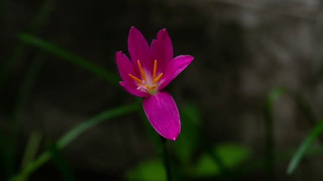 Time-lapse-of-Zephyranthes-Lily-blooming