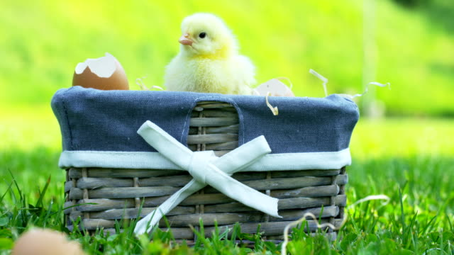 On-a-sunny-day-little-yellow-chicks-sitting-in-the-grass-in-the-background-of-green-grass-and-trees