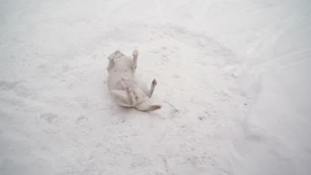 Un-perro-Labrador-Retriever-blanco-jugando-en-la-nieve