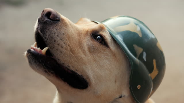 Beautiful-adult-golden-labrador-dog-in-military-helmet-Doggy-smiling-He-s-feeling-hot-at-summer-Trained-war-dog-Slow-motion-