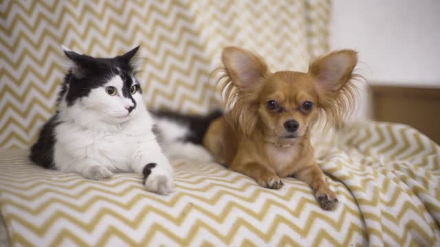 Katze-und-Hund-Chihuahua-Hund-und-flauschige-Katze-liegen-auf-dem-Sofa-zu-Hause