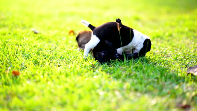 Puppy-dog-or-little-dog-playing-on-grass-filed-meadow-on-sunlight-of-daytime-Light-of-sun-pass-to-green-grass-is-beauty-Black-and-white-fur-body-of-dog-