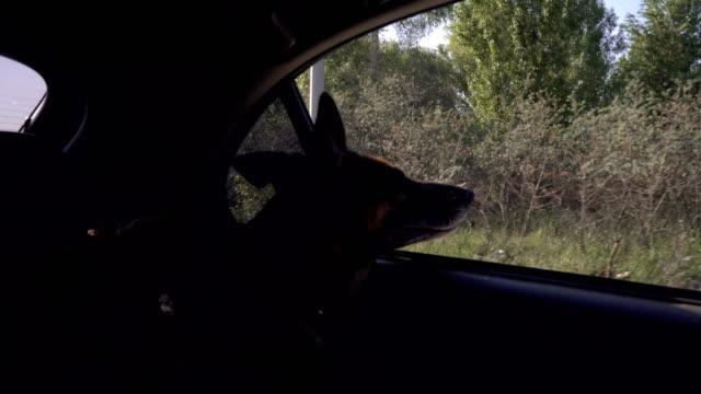 El-perro-en-el-coche-mira-por-la-ventana