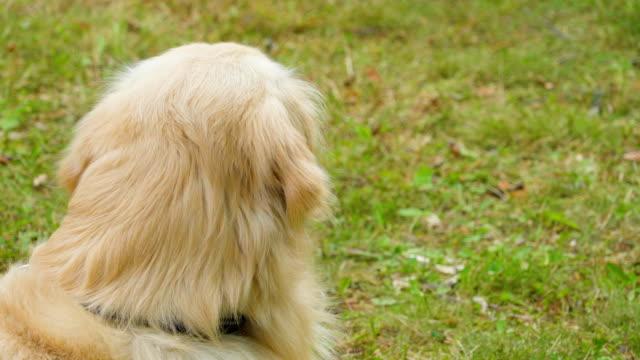 El-peludo-perro-Golden-Retriever-blanco-tendido-en-la-hierba