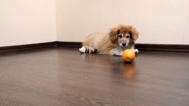Junge-Corgi-Hund-Welpe-mit-Orangenfrucht-drinnen-spielen