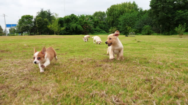 Group-of-lovely-puppy-dogs-running-outdoor-4k