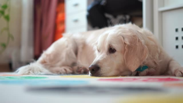 happy-lives-of-pets-at-home---beautiful-big-dog-resting-in-the-room