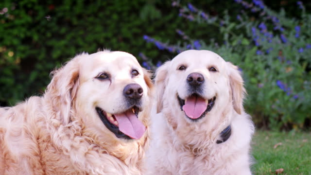 Two-happy-Labrador-dogs-lie-panting-in-garden-during-Summer