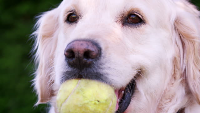 Labrador-dog-with-a-tennis-ball-in-its-mouth-waiting-to-play