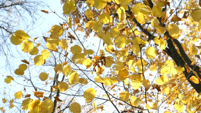 High-resolution-video-of-the-yellow-leafs-on-the-trees-blue-sky-on-the-background-golden-autumn-in-park-sunny-day-clear-weather-reflections-yellow-color