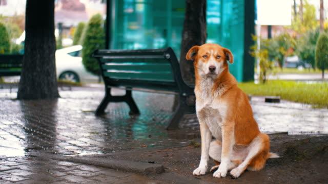 Perro-rojo-sin-hogar-se-encuentra-en-una-calle-de-ciudad-de-la-lluvia-contra-el-fondo-de-los-coches-pasando-y-las-personas