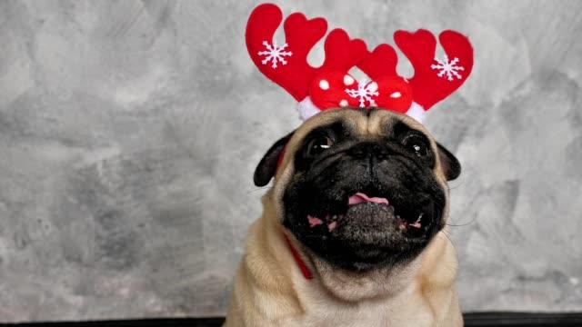 Cara-de-perro-pug-lindo-con-cuernos-de-Reno-para-la-fiesta-de-Navidad-de-cerca