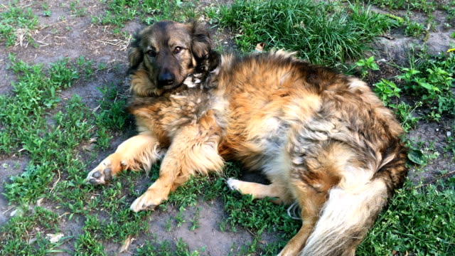 Mongrel-lying-on-the-grass-and-looking-