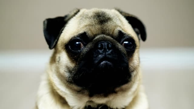 Close-up-portrait-of-cute-funny-pug-dog-looking-at-camera