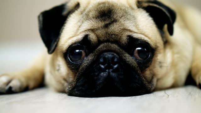 Cute-pug-dog-lies-on-the-floor-falls-asleep-and-looking-at-camera-tired-nd-lazy-Close-up