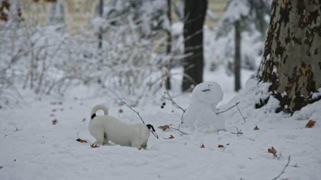 gato-perro-de-russell-terrier-jugando-en-cachorro-de-nieve-feliz-alegre