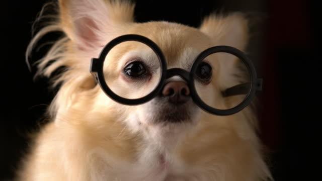 CUTE-BROWN-CHIHUAHUA-DOG-STUDIO-SHOT-WITH-GLASSES