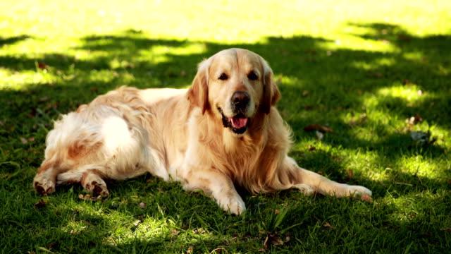 Cute-labrador-lying-on-the-grass